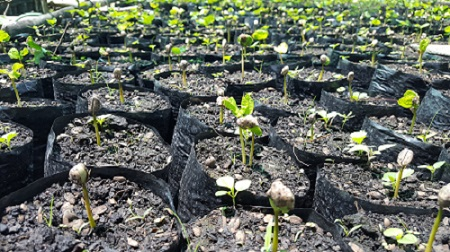 Coffee-seeds-germination-coffee-cultivation
