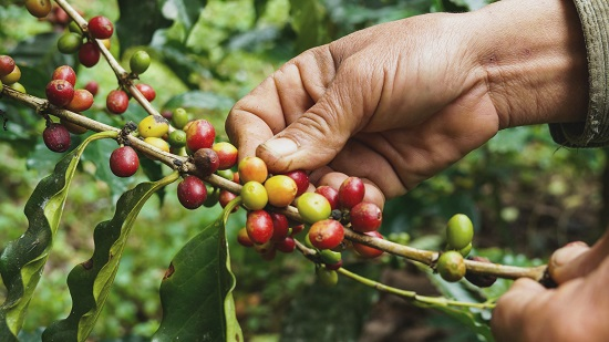 coffee-cherries-picking-from-trees